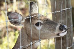 deer-fence